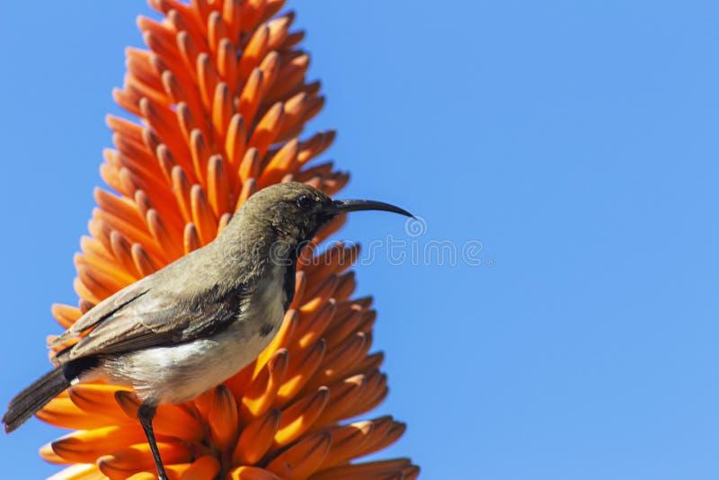 Schließen Sie oben von der orange Blume und dem Vogel der Aloe auf blauem Hintergrund stockfotografie