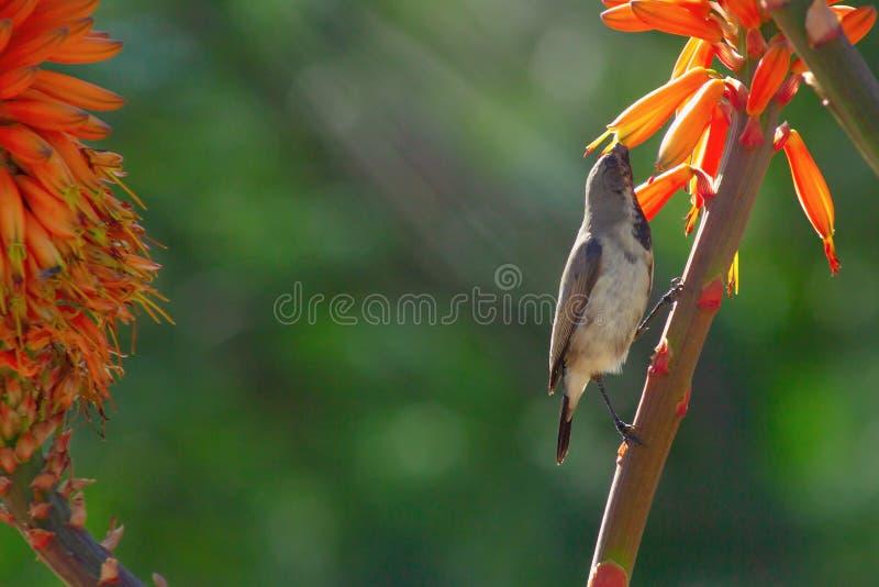Schlie?en Sie oben von der orange Blume und dem Vogel der Aloe auf gr?nem Hintergrund stockfotos