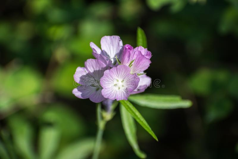 Schließen Sie oben von der Oregon-Kontrolleur-Malve (Sidalcea oregana) blühend in Shasta-staatlichem Wald, Nord-Kalifornien; grün lizenzfreie stockfotos