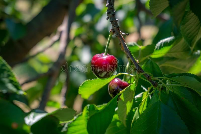 Schlie?en Sie oben von der reifen roten Kirsche, die am Kirschbaum im Fruchtobstgarten, Garten h?ngt stockbilder