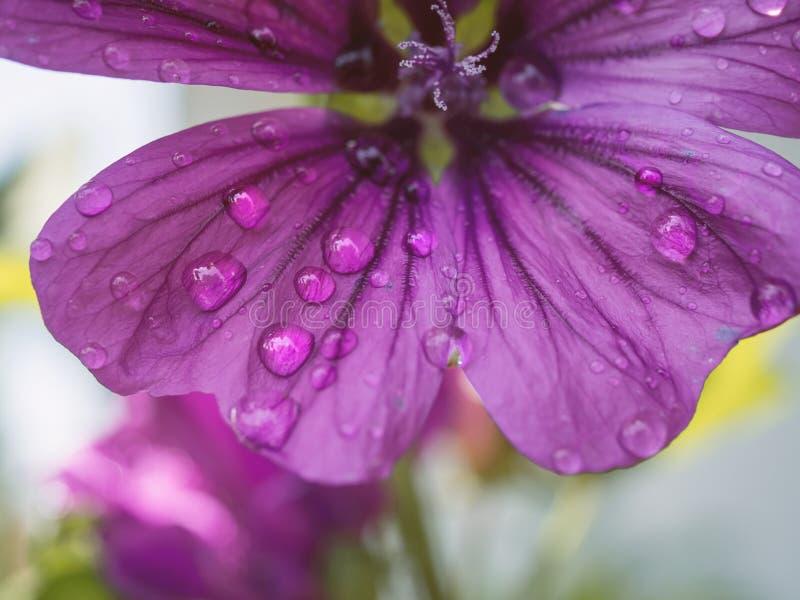 Schließen Sie oben von der rosa blühenden Blume mit Wassertropfen lizenzfreies stockbild