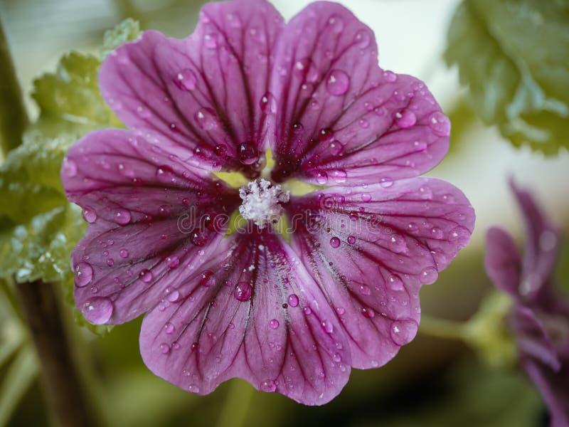 Schließen Sie oben von der rosa blühenden Blume mit Wassertropfen stockfotografie