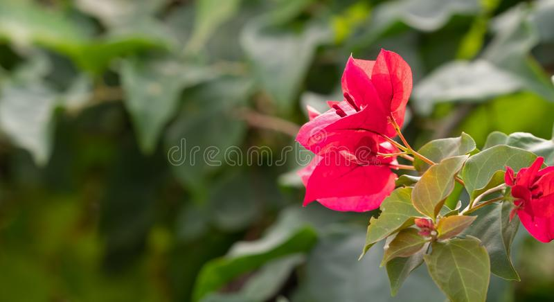 Schließen Sie oben von der rosa Bouganvilla-Blume, die auf undeutlichem Hintergrund lokalisiert wird lizenzfreie stockfotografie