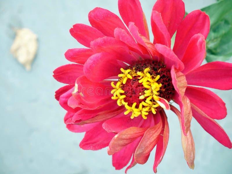 Schließen Sie oben von der roten Blume stockbild