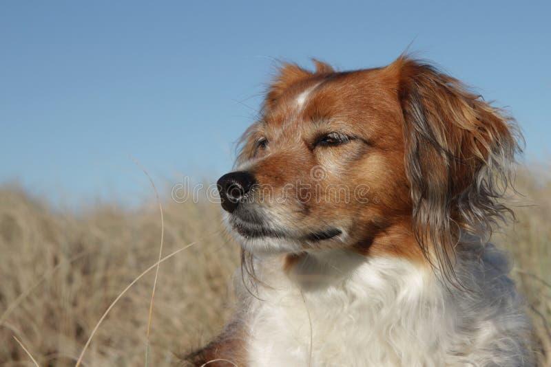 Schließen Sie oben von der roten Collieart BauernhofschäferhundDouble lizenzfreie stockfotos