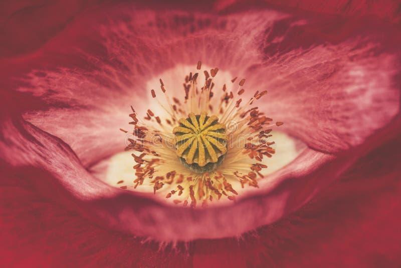 Schließen Sie oben von der roten Mohnblumeblume stockbild