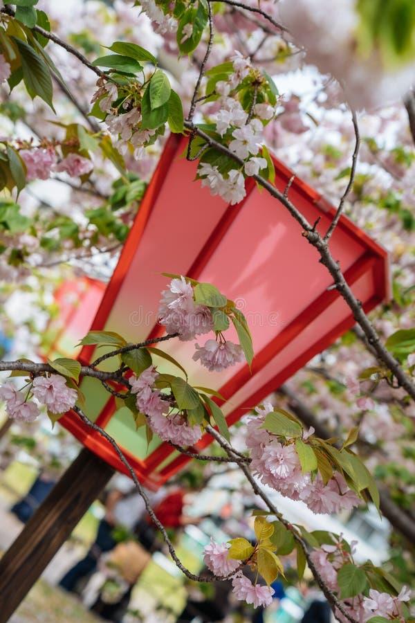 Schließen Sie oben von der roten Stellung der japanischen Laterne im Park mit dem schönen Rosakirschblüte-Blumenumgeben Wirkliche stockfotografie