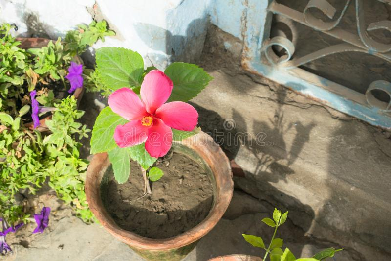 Schließen Sie oben von der schönen milchigen rosa Hibiscusblume stockfotografie