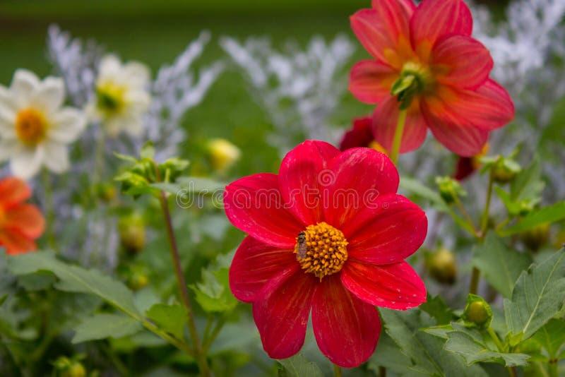 Schließen Sie oben von der schönen roten Dahlienblume auf Garten Natürliches flowe stockbild