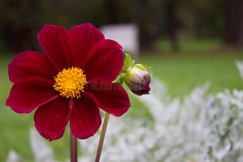 Schließen Sie oben von der schönen roten Dahlienblume Burgunders auf natürlichem BAC stockfotos