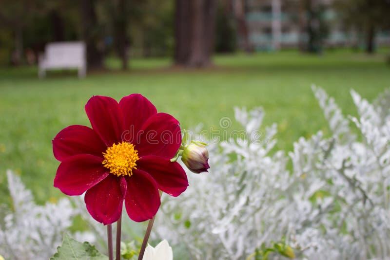 Schließen Sie oben von der schönen roten Dahlienblume Burgunders auf natürlichem BAC stockfoto