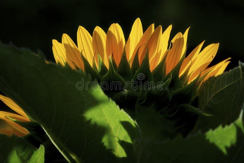 Schließen Sie oben von der Sonnenblumenhintergrundbeleuchtung, indem Sie Sonne glätten lizenzfreie stockfotos