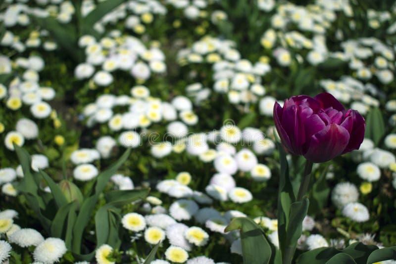 Schließen Sie oben von der violetten Tulpenblume lizenzfreie stockbilder