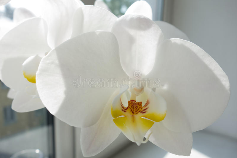 Schließen Sie oben von der weißen Orchideeblume stockfotos