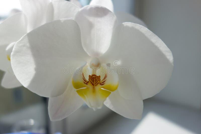 Schließen Sie oben von der weißen Orchideeblume lizenzfreies stockfoto