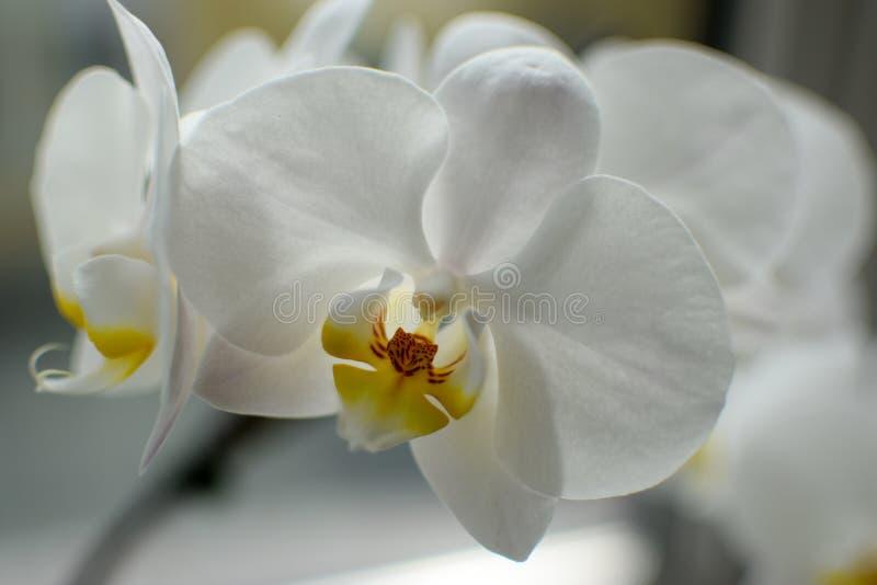 Schließen Sie oben von der weißen Orchideeblume stockbild