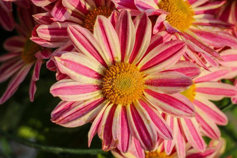 Schließen Sie oben von diesen schöne Rosa-und weißeblumen für einen Kirchen-Blumenstrauß stockbild