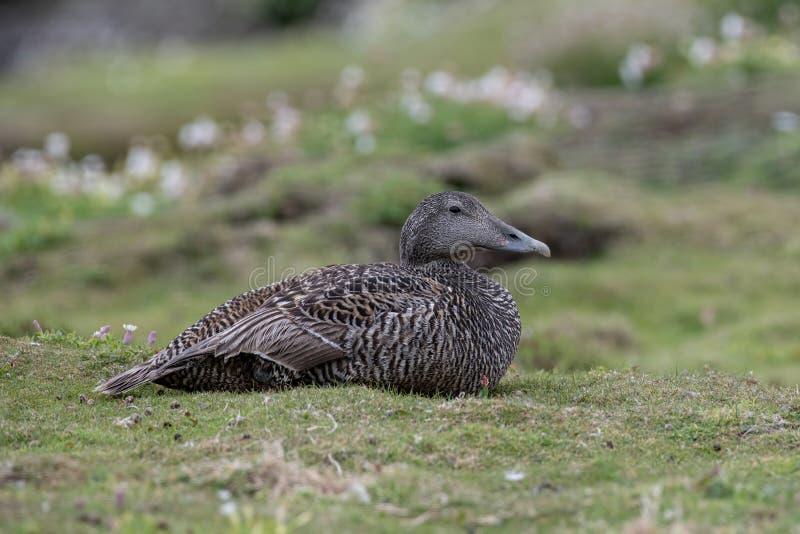 Schließen Sie oben von Eiderente-Duck Somateria-mollissima stockfotos