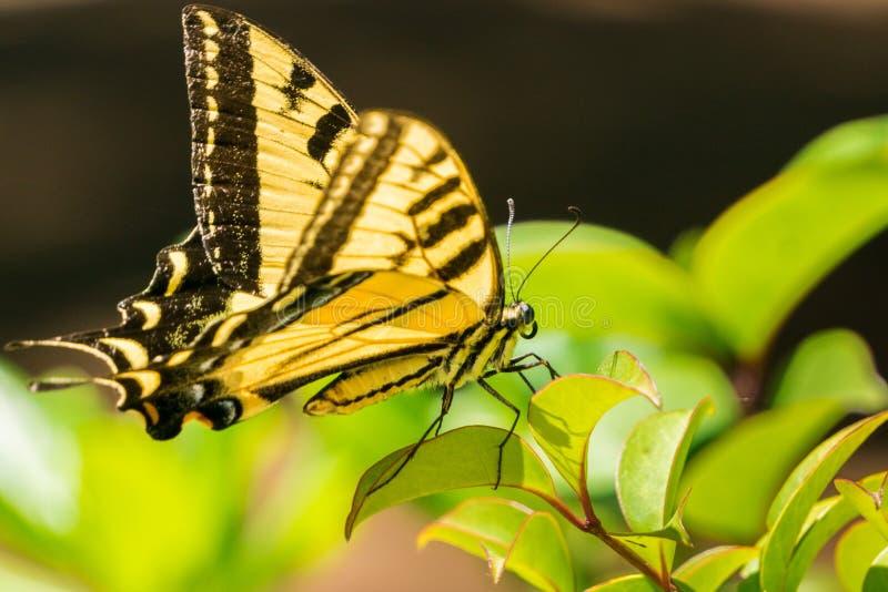Schließen Sie oben von einem Anise Swallowtail-Schmetterling, der auf grünen Blättern stillsteht stockfotografie
