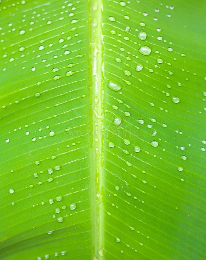 Schließen Sie oben von einem Bananenbaumblatt lizenzfreie stockfotografie