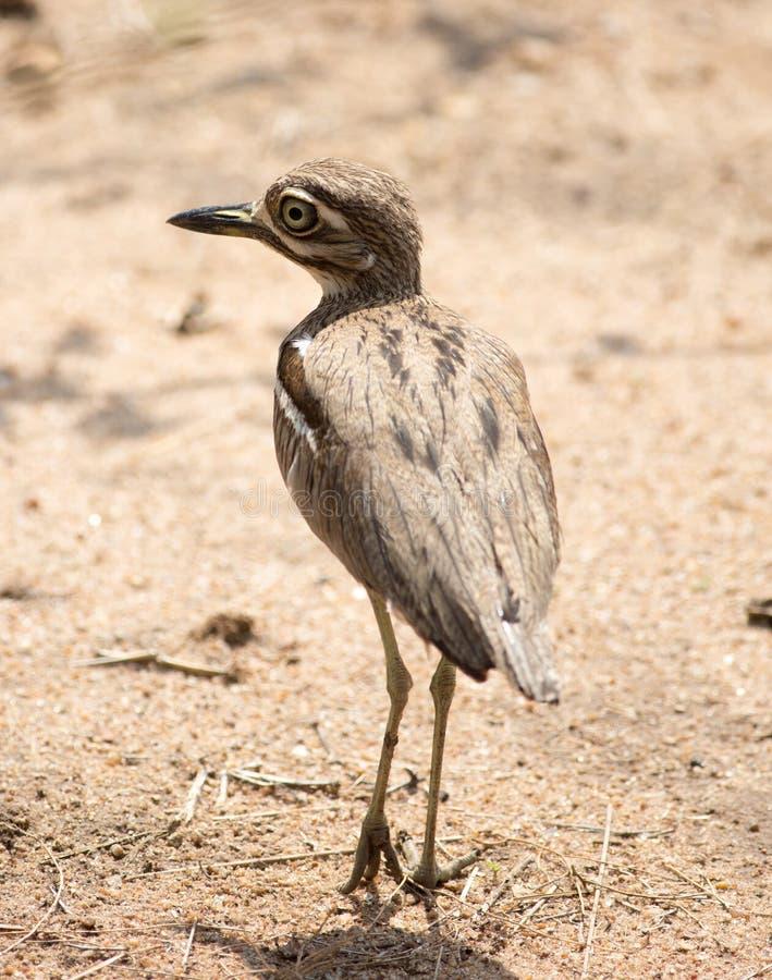 Schließen Sie oben von einem beschmutzten Stark-Knie-Vogel lizenzfreies stockfoto