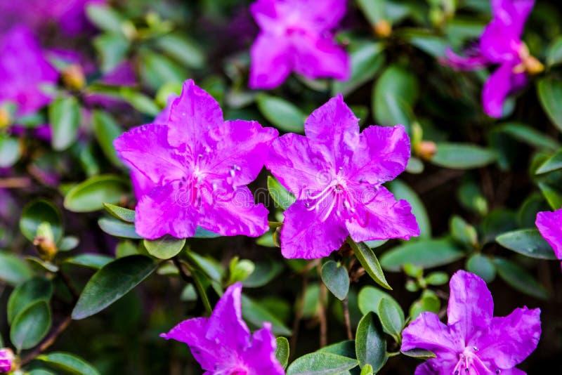 Schließen Sie oben von einem blühenden Strauch mit kleinen rosa Rhododendren mit selektivem Fokus auf dem Rhododendron im Hinterg lizenzfreie stockfotografie