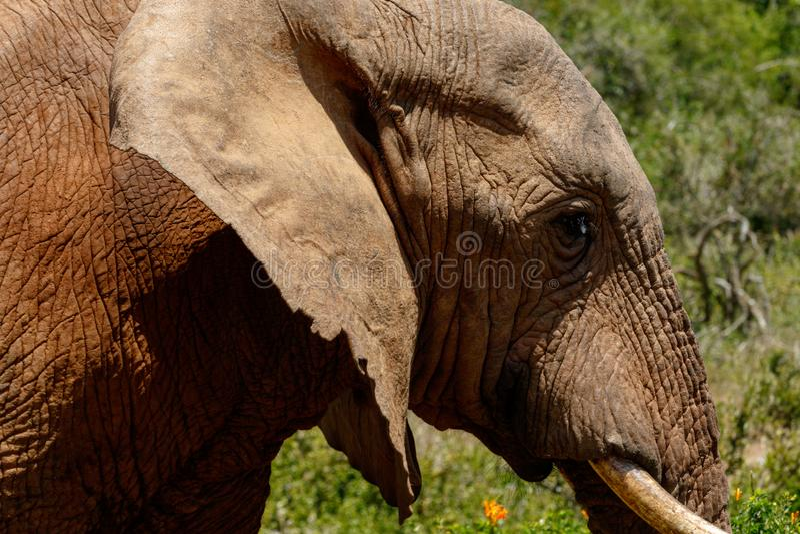 Schließen Sie oben von einem Elefanten, der vorbei überschreitet lizenzfreies stockfoto