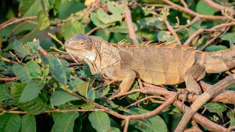 Schließen Sie oben von einem enormen grünen Leguan ist, stehend und stillstehend auf Niederlassung des Baums lizenzfreie stockfotos