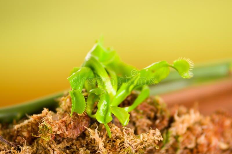 Schließen Sie oben von einem exotischen Fleisch fressenden Blume Venus Fliegenfalle Dionaea, der über einem Substrat des Holzes,  stockbilder