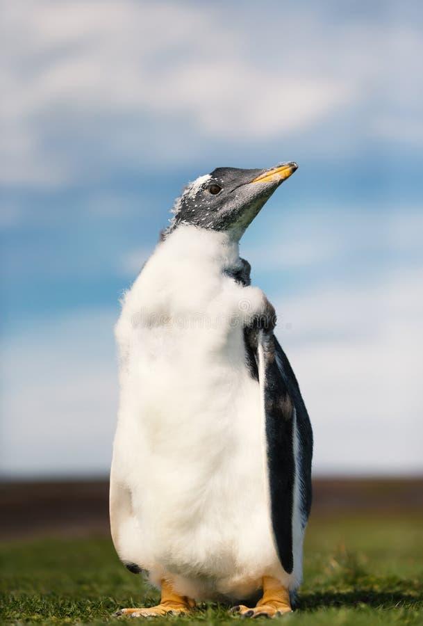Schließen Sie oben von einem Gentoo-Pinguinküken gegen blauen Himmel stockfotografie