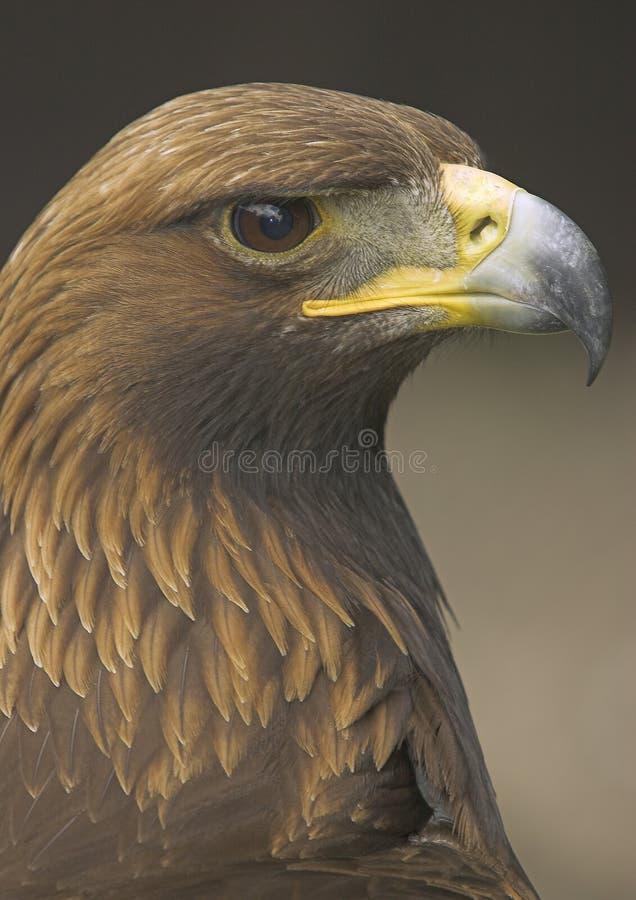 Schließen Sie oben von einem goldenen Adler stockfotografie