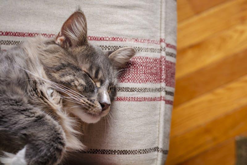 Schließen Sie oben von einem grauen Maine Coon-Katzenschlafen stockfotografie