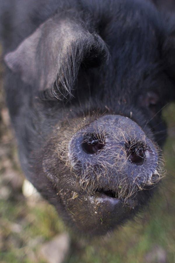 Schließen Sie oben von einem großen schwarzen Schwein stockfotos