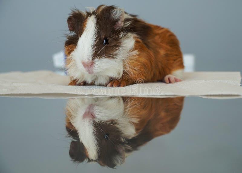 Schließen Sie oben von einem jungen Meerschweinchen und von seiner Reflexion stockfoto