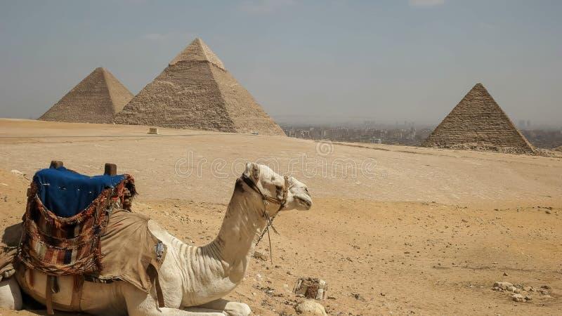 Schließen Sie oben von einem Kamel und von den Pyramiden in Giseh in Kairo, Ägypten lizenzfreie stockbilder