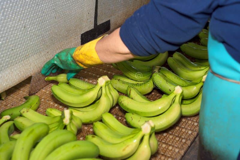 Schließen Sie oben von einem Mann, der die grünen Bananenniederlassungen am Bananenbauernhof schneidet stockfoto