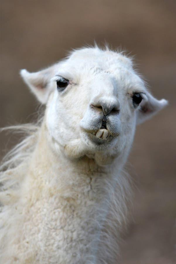 Schließen Sie oben von einem Porträt des Kopfes eines weißen Lamas, das seine Vorderzähne zeigt lizenzfreie stockfotografie