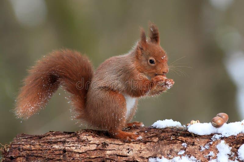 Rotes Eichhörnchen im Winter lizenzfreies stockbild