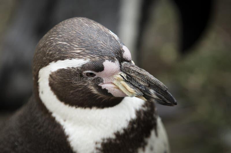 Schließen Sie oben von einem südamerikanischen Pinguin Humboldts stockbilder