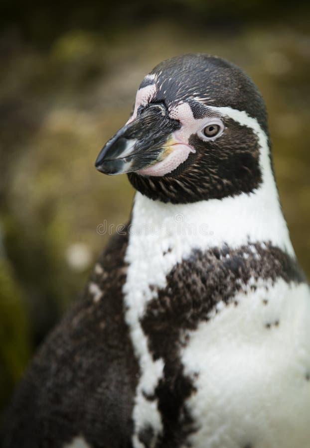 Schließen Sie oben von einem südamerikanischen Pinguin Humboldts stockfotografie