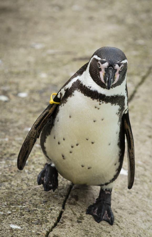 Schließen Sie oben von einem südamerikanischen Pinguin Humboldts lizenzfreie stockbilder