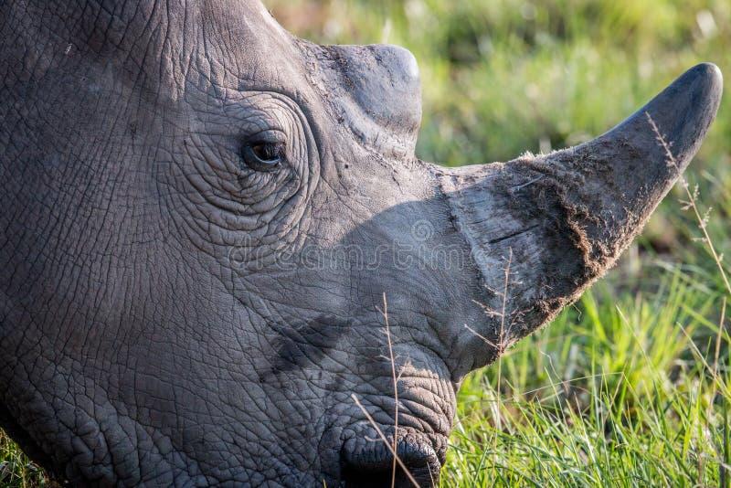 Schließen Sie oben von einem weißen Nashornkopf lizenzfreies stockfoto