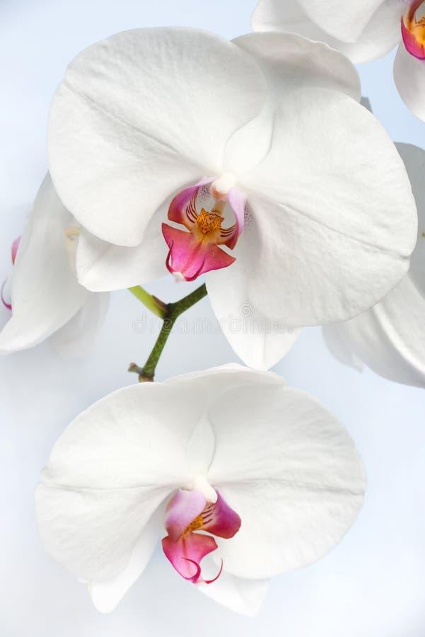 Schließen Sie oben von einem weißen Phalaenopsisorchideenstamm lizenzfreies stockbild