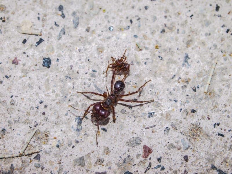 Schließen Sie oben von einer Ameise auf der Pflasterung eines Bürgersteigs lizenzfreie stockfotografie