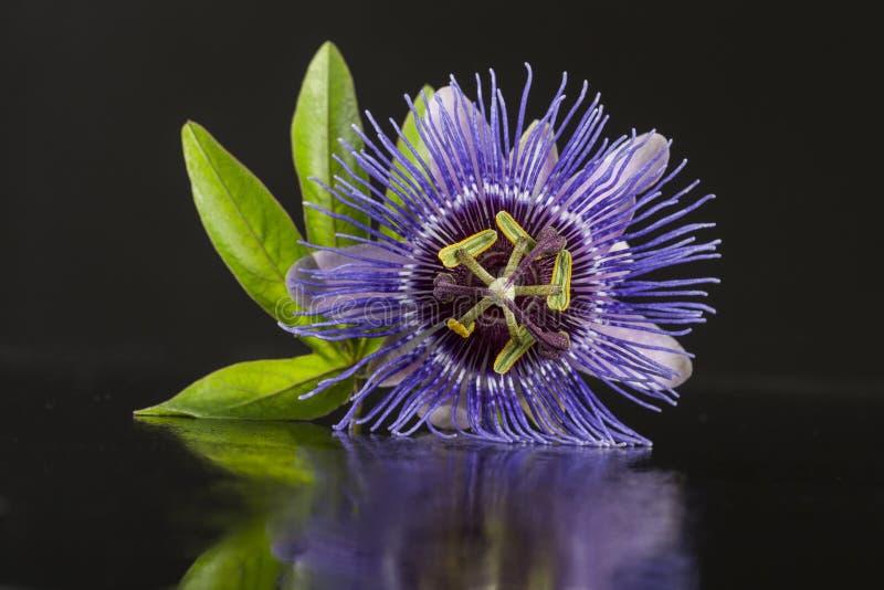 Schließen Sie oben von einer Blüte der purpurroten Passionsblume auf schwarzem Hintergrund stockbilder