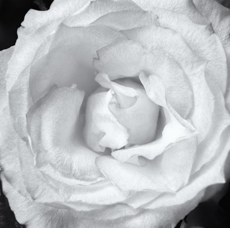 Schließen Sie oben von einer blassen einzelnen Weißrose auf einem dunklen Hintergrund stockbild