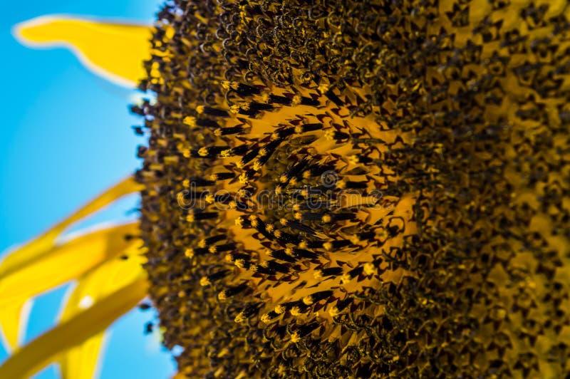Schließen Sie oben von einer einzelnen Sonnenblume gegen einen hellen blauen Himmel stockfoto