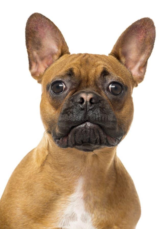 Schließen Sie oben von einer französischen Bulldogge, welche die Kamera betrachtet, lokalisiert lizenzfreies stockfoto