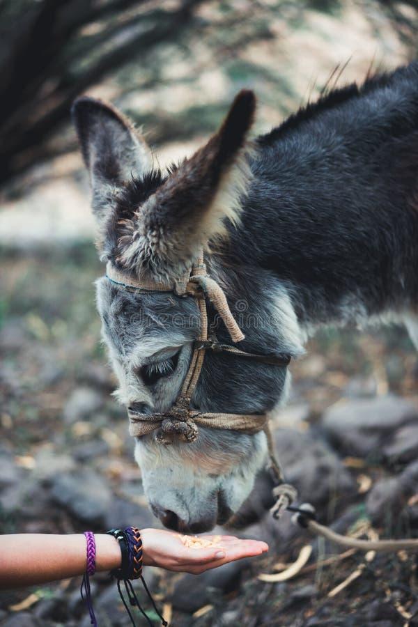 Schließen Sie oben von einer Frauenhand, die einen Esel einzieht Säugetiere, Tiere und Naturkonzept stockbild