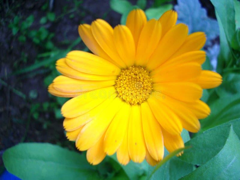 Schließen Sie oben von einer gelben Calendulablume, die durch Grün umgeben wird stockbilder